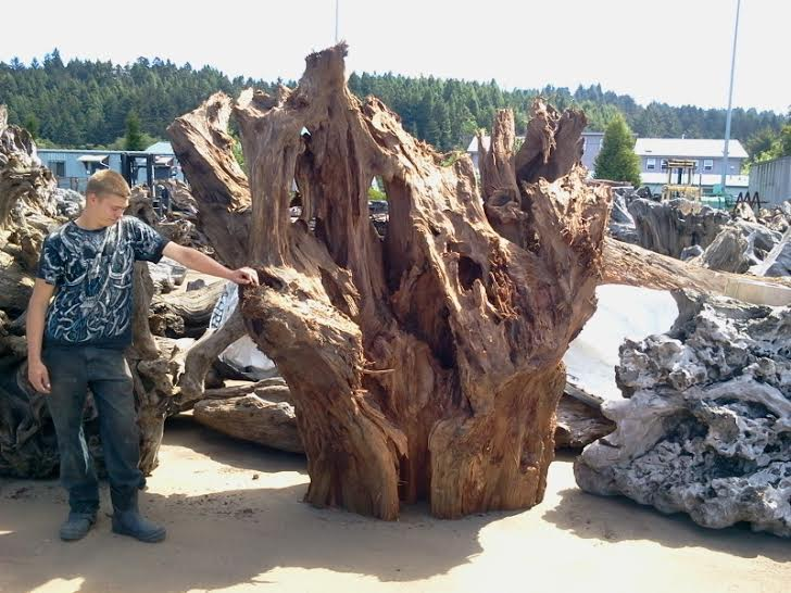 Old growth Raw Wood Carving Material and Supply - Decorative Yard Wood Stumps
