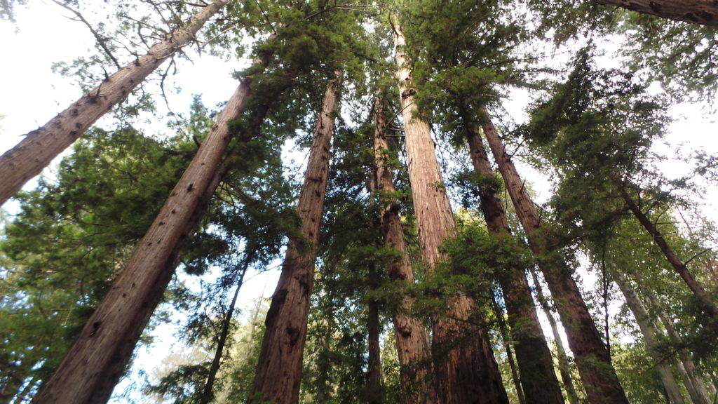 Redwood forest - ethical sourcing
